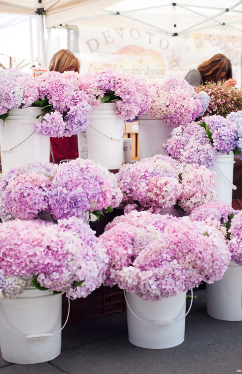 purple-pink-hydrangea