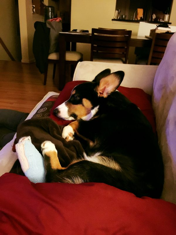 An update on our tri-head corgi puppy, Winston! An accident and unexpected surgery was in the cards!