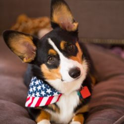 Winston the corgi - July 4th